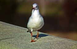 A walking black-headed gull