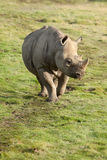 Walking black rhino Royalty Free Stock Photos
