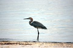 Walking blue heron Stock Photography