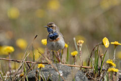 Walking Bluethroat among coltsfoots Stock Photos