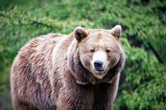 Walking brown bear Stock Photos