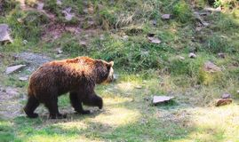 Walking brown bear in the natural enviroment. An adult brown  bear in natural enviroment. Walking through the meadow stock images