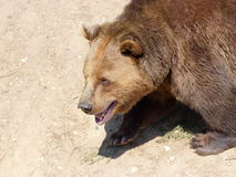 Walking brown bear portrait Royalty Free Stock Image