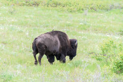 Walking Bull Bison with a Bird Riding on His Back Royalty Free Stock Images