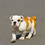 Walking bulldog Stock Photo