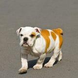 Walking bulldog. Small English bulldog puppy walking towards camera Stock Photo