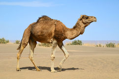 Walking camel Royalty Free Stock Image
