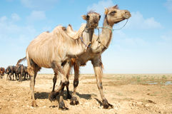 Walking camels Royalty Free Stock Image
