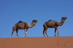 Walking camels on blue desert sky Stock Photo