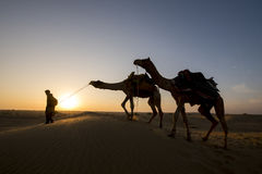 Walking with camels at sunrise Stock Photo