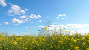 Walking through a canola field on a sunny day. Handheld tracking shot stock video footage