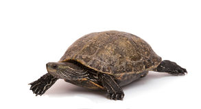 Walking caspian turtle Royalty Free Stock Photo