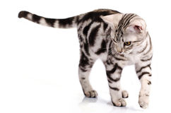 Walking Cat. American Shorthair Cat walking and looking at someting royalty free stock photo