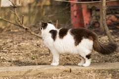 Walking cat Royalty Free Stock Photography
