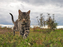 Walking Cat on Grass. Tabby cat walking on grass against cloudy sky Royalty Free Stock Photography