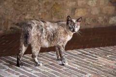 Walking cat Stock Images