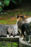 The walking cat. Its walking around the edges of pond that have no water Stock Photography