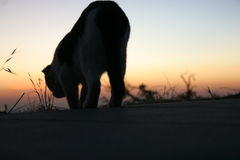 Walking Cat Silhouette. Cat silhouette with a sunset in the background Royalty Free Stock Photos