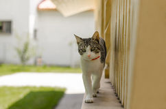 Cat. Tabby cat walking on border Stock Images