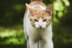 A walking cat. A walking towards you cat stock photography