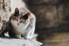 Walking cat Royalty Free Stock Images