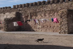 Walking cat. Cat walking among the wall royalty free stock images