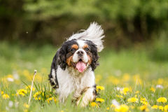 Walking Cavalier King Charles Dog Stock Images