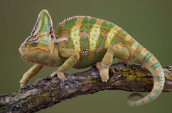 Walking Chameleon. A veiled chameleon is walking on a tree branch Royalty Free Stock Photos
