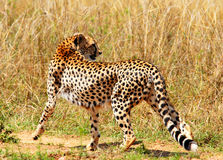 Walking cheetah. In  the Masai Mara Reserve (Kenya Stock Photography