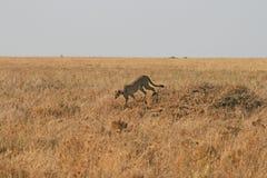 Walking cheetah Stock Image