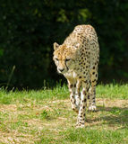 Walking Cheetah Stock Photography