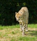 Walking Cheetah Stock Photography