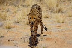 Walking cheetah in the steppe Stock Image