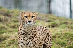 Walking cheetah Stock Photo