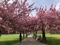 Walking in a cherry trees park stock photo