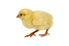 Walking chick. Newborn little yellow easter chick on the walk Royalty Free Stock Photography