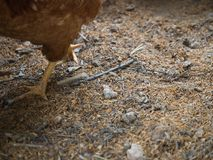 Walking The Chicken Stock Image