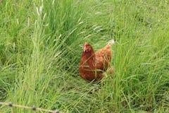Walking chicken. Walking chicken in the high grass in the summer stock photo