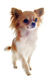 Walking chihuahua Royalty Free Stock Photography