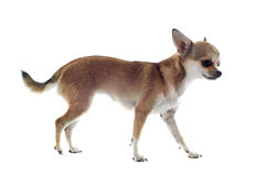 Walking chihuahua Stock Images