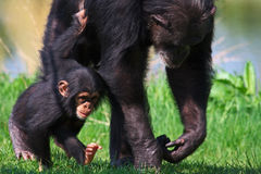 Walking Chimpanzee baby with his mother. Chimpanzee baby walking with his mother through the grass Royalty Free Stock Image