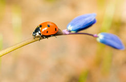 Walking by. Closeup of ladybird on snowdrop Stock Image