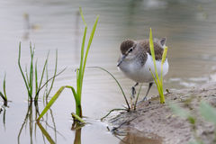 Walking Common sandpiper at river bank Royalty Free Stock Photos
