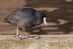 A walking coot Stock Image