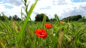Red corn poppies on a meadow. Walking through corn poppies on an agricultural field and meadow - tracking shot in summer time stock video