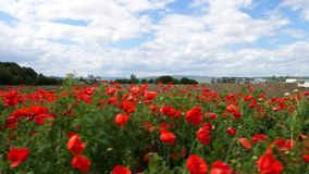 Red corn poppies on a meadow. Walking through corn poppies on an agricultural field and meadow - tracking shot in summer time stock video footage