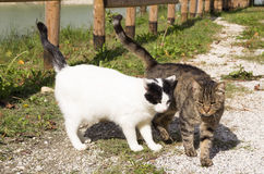 Walking couple of two loving cats royalty free stock photos