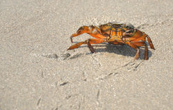 Walking crab Stock Image