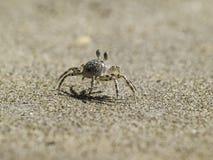 Walking crab Stock Images