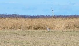 Crane bird in meadow, Lithuania Stock Photos
